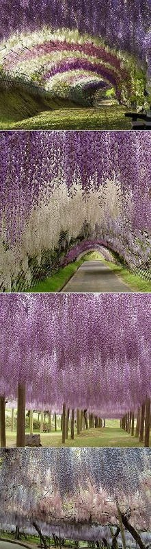 wisteria/glicynia najpiękniejsze pnącze na świecie