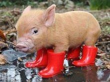 świnka w botkach