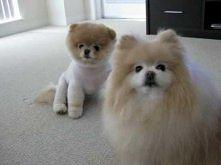 #2 Boo The Cutest Pomerania...