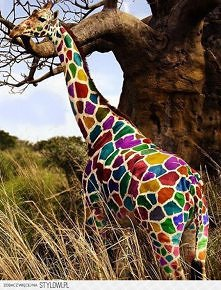żyrafa:P