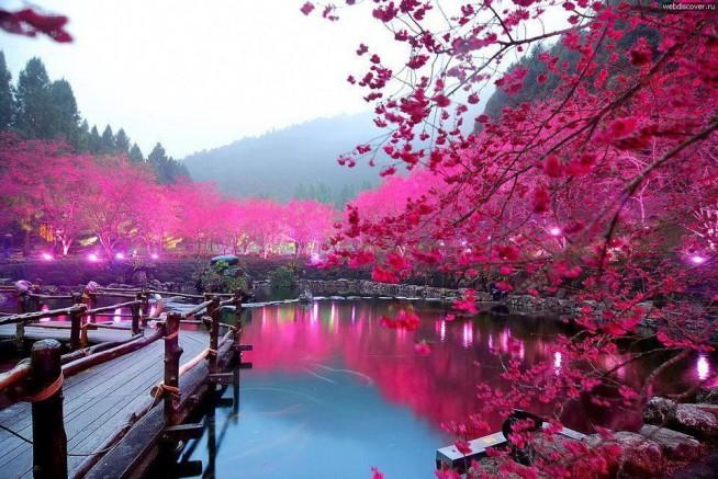 Jezioro kwitnącej wiśni, Sakura, Japonia
