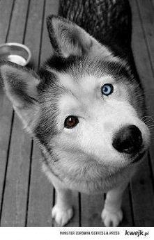 husky..