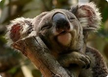 Śpiący koala