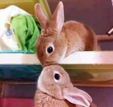 urocze króliczki