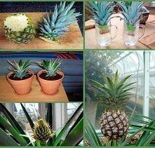 hodujemy ananasa