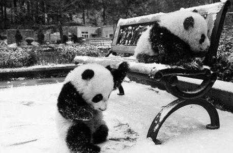 panda <3