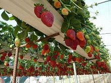 truskawki - ciekawa plantacja