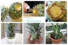 ananas w doniczce