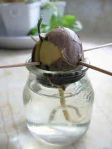 Awokado: gdy rośnie w domu nie owocuje. Umyj ziarno i pozostaw do wyschnięcia przez noc. Odklej brązową skórę zewnętrzną. Włóż cztery wykałaczki w centrum nasiona w równych odst...