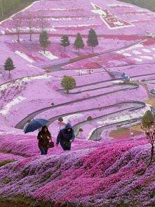 Kwiatowy park. Hitachi Seaside Park, Japonia