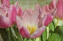 różowy tulipan