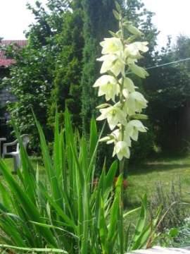 jukka ogrodowa - Można jukkę sadzić pojedyńczo lub grupami na trawniku lub suchych, stepowych partiach ogrodu. Nadaje się też do sadzenia w dużych pojemnikach i na kwiat cięty. Cięcie wykonje się gdy połowa kwiatów w kwiatostanie jest rozwinięta.