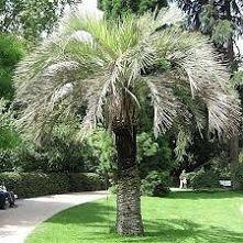 mrozoodporne palmy