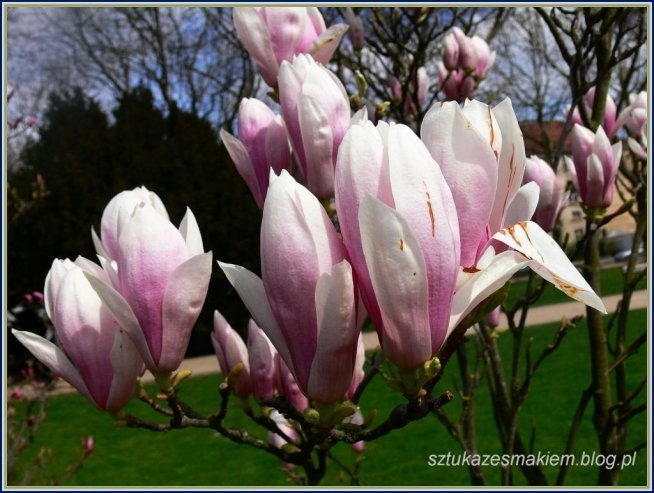 więcej zdjęć magnolii -kliknij w zdjecie