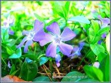 więcej kwiatów -kliknij w z...