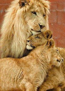 Lwia rodzinka w komplecie