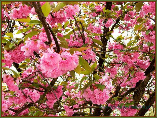 różowe cudo -więcej kwiatów  kliknij w zdjęcie