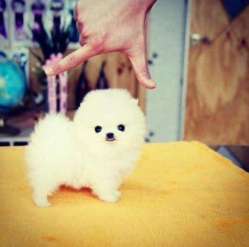 Szpic Miniaturowy Pomeranian Cuuudeeńkoo D Na Ulubione