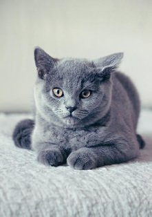 Kotek brytyjski *___*