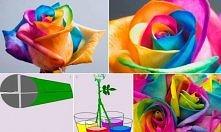 kolorowa róża ;)