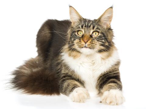 Maine Coon (majkun) najśliczniejszy kot jakiego do tej pory widzialam!!