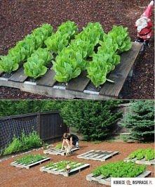 palety w ogródku warzywnym :)
