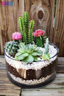 Kaktusy w szklanej doniczce