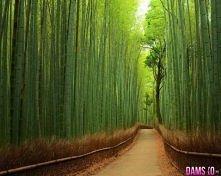 Las Bambusowy w Japonii