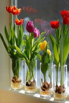 tulipany w wysokich szklank...