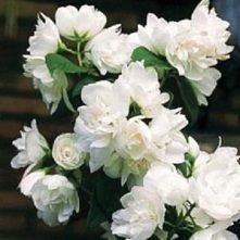 """Jaśminowiec """"Snowbelle"""" wysokość do 2 m kwitnie: VI - VII"""