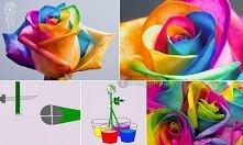 """Potrzebne: Róża biała 4x kolory barwników 4x kubki z wodą Ostry nóż Wsążka Wykonanie: Najlepiej, żeby dopiero zaczynały się  rozwijać. Zbyt """"dojrzałe"""" róże przekwitną, zanim ich..."""
