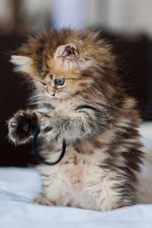 Właścicielki kotów - wasze też bawią się gumkami do włosów?