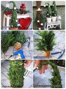 Żywa świąteczna CHOINKA