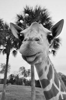 żyrafka :3