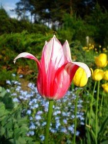 Pan tulipan ;)