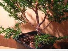 Początki z bonsai