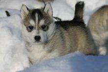 Takiemu szczeniakowi nie przeszkadza, że jest zimno, a ty nie chcesz wyjść na dwór?