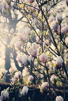 Magnolia - właśnie zamówiłam taką do mojego ogrodu.