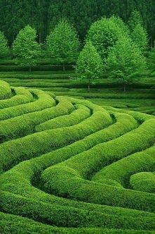 Pole Herbaty, Korea Południowa