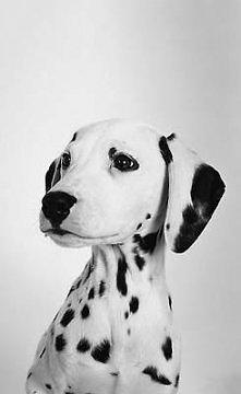 Dalmatyńczyk. ♥