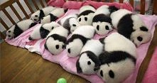 mini pandy