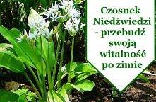 Roślina ta posiada olbrzymią moc leczniczą – właściwości porównywalne z czosnkiem pospolitym, jednak jej moc jest silnie zwielokrotniona