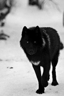 Czarny wilk <3