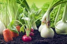 Tych gatunków nie powinno się sadzić razem:      Truskawki nie znoszą kapusty.     Ogórków nie można sadzić obok pomidorów.     Majeranek słabo rośnie w pobliżu bazylii.     Fas...