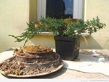 """1 z 22. bonsai z """"najbrzydszego"""" drzewka którego bym w ogródku nie posadził"""