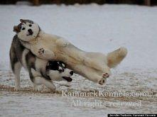 Husky/śmieszne