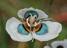 Pawi Kwiat Morea villosa