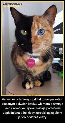 Chimera. Ciekawe ile takich kotów jest na świecie...