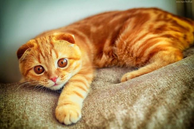 Kot Szkocki Zwisłouchy Na Zwierzęta Zszywkapl