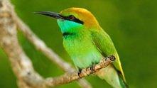 green bird of North America